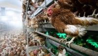 Fransada kuş gribi alarm seviyesi yükseğe çekildi