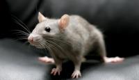 Paris Belediyesinin başı farelerle dertte