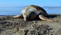 Çanakkalede ölü caretta caretta sahile vurdu