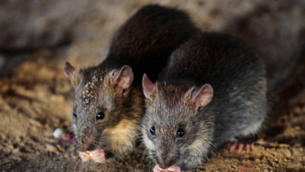 ABDde bir kadının yaşadığı karavandan 320 fare çıktı