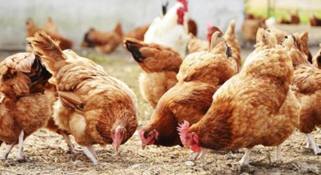 Tavukların zekası bilim adamlarını şaşırttı