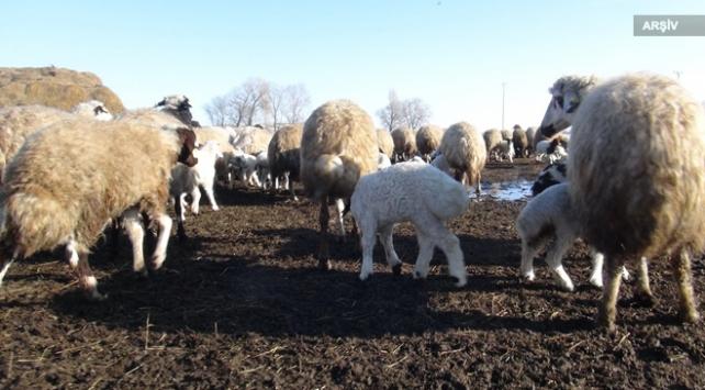 Niğdede 500 koyun, ölü kuzu doğurdu