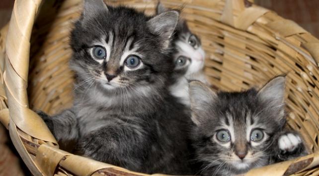 ABDde evcil kedilere kuş gribi bulaştı
