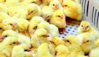 Doktorlara Maaş Yerine Civciv Veriliyor