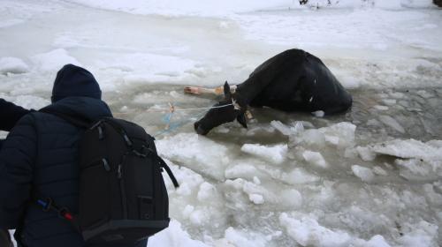 Göle düşen inek iple kurtarıldı