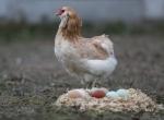 """Yeşil yumurtlayan tavuk"" karaborsa oldu"