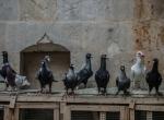 """Türkiyenin """"damızlık güvercinleri"""" Şanlıurfadan"""