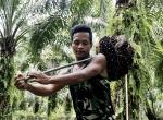 Endonezyada Palmiye yağı işçiliği