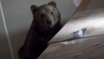 Uykusuz ayı depoya sığındı