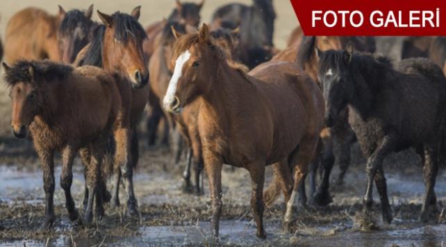 Fotoğrafçıların gözdesi yılkı atları