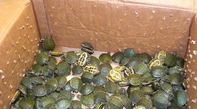 4 bin yavru kaplumbağa gümrüğe takıldı