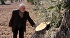 Kiliste hırsızlar 200 yıllık zeytin ağaçlarını kesti
