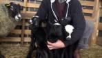 İthal ettiği 6 koyun beşiz doğurdu