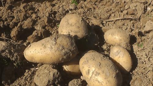 Ödemişte organik patates üretimi