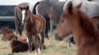 Şampiyon atların yetiştirildiği Sultansuyunda tay heyecanı