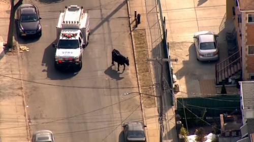 Kesimhaneden kaçan inek ekipleri uğraştırdı