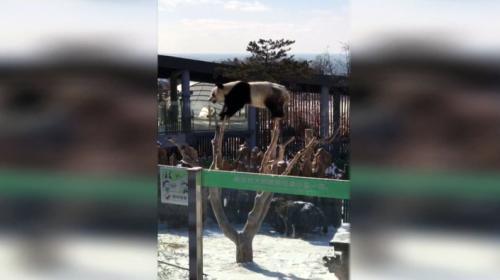 Panda profesyonel jimnastikçilere taş çıkarttı