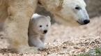 Hellabrunn Hayvanat Bahçesindeki yavru kutup ayısı