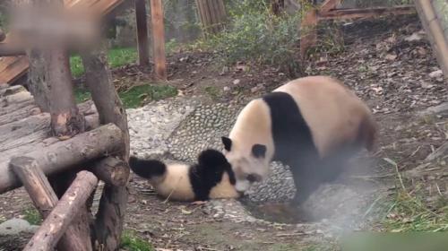 Sevimli yavru pandaların banyo serüveni