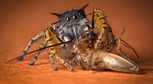 Örümcekler o kadar fazla et yiyor ki...