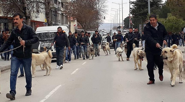 Hollandaya Kangal köpekli tepki