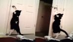 Kendi kapısını açan akıllı kedi