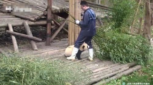 İlgi aşığı yaramaz pandalar