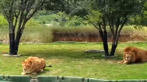 Safari turunda korku dolu anlar