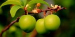Erikte hasat edilen ürün arttı; fiyatı düştü