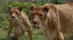 """""""Udey Saddamın aslanları, ayrıcalıklı günlerini arıyor"""""""
