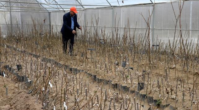 Tescilli ceviz fidanlarından yılda 50 bin adet üretilecek