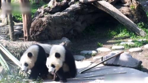 Sevimli pandalar yine iş başında...