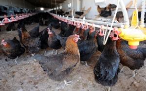 Niğde yumurta tavukçuluğunda da iddialı