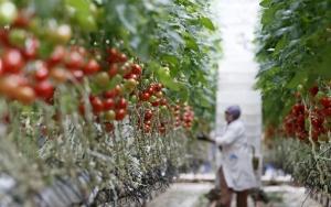 Hava kargo en çok domates ihracatçısını sevindirecek