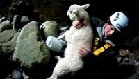 Koyunları Kurtarma Operasyonu
