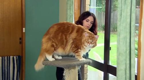 """O """"dünyanın en uzun kedisi"""" olmaya aday"""
