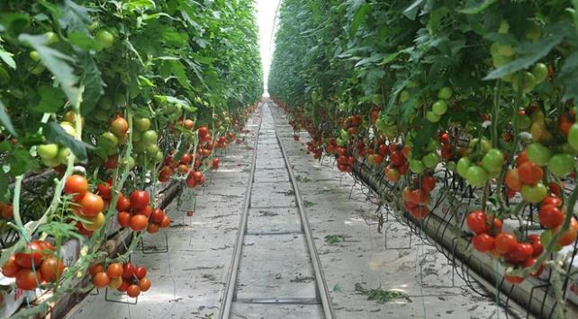 Mersinde domates üreticide 80 kuruşa düştü
