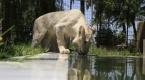 Bağdatın nadir beyaz aslanı