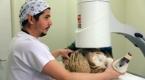 Yaralı halde bulunan kızıl akbaba ameliyat edildi