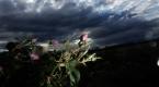 Bulgaristanda gül hasadı başladı