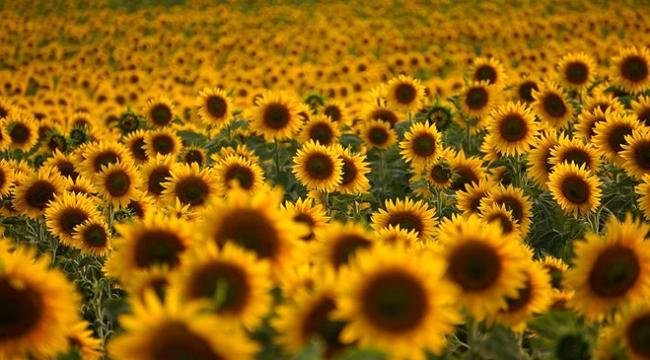 Gece gündüz sıcaklık farkları ayçiçeklerini strese soktu