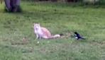 Saksağan kediyi çıldırttı