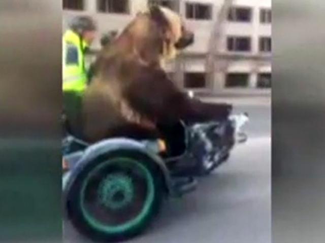 Motosiklette bir ayı var!