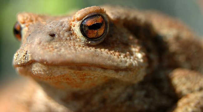 Hindistanda yeni kurbağa türleri keşfedildi