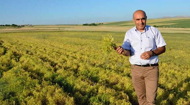 Kırşehir çiftçisi mercimeğe yöneldi