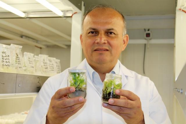 Virüs ve hastalıklardan ari muz fidanı üretildi
