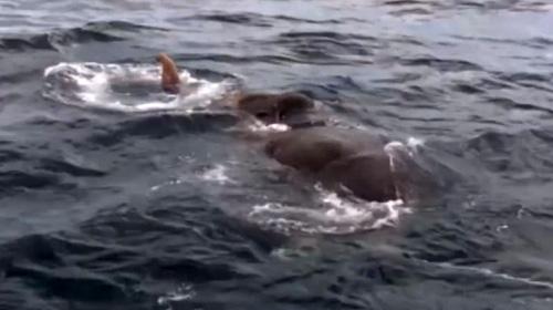 Nehir sularına kapılan fil kendini okyanusta buldu