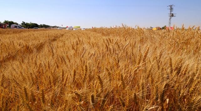 Buğday alım fiyatı açıklandı
