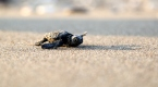 Yavru deniz kaplumbağalarının yaşam mücadelesi başladı