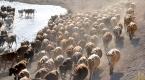 Sıcak, meralardaki hayvanları olumsuz etkiledi